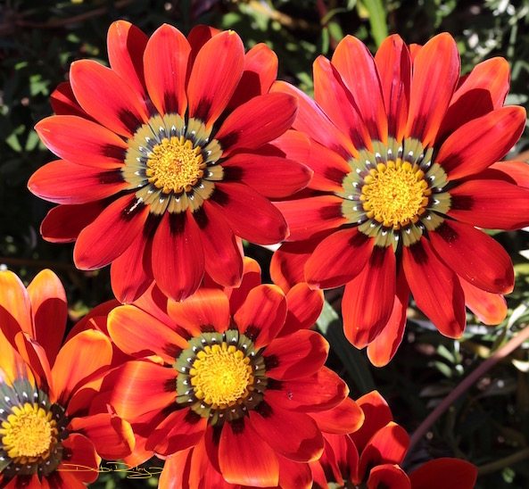 bright red, flower photograph, debiriley.com