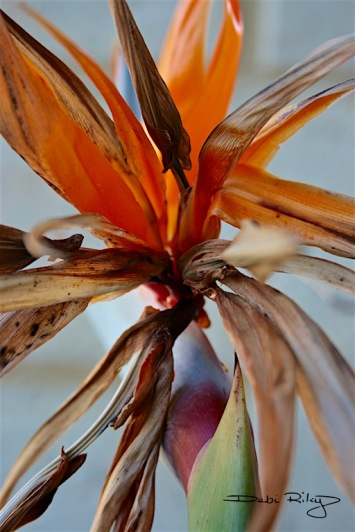 Strelitzia photograph in zen sculptural pose, debiriley.com