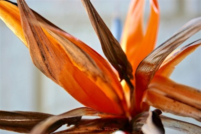 photo of bird of paradise, strelitzia, for painting, debiriley.com