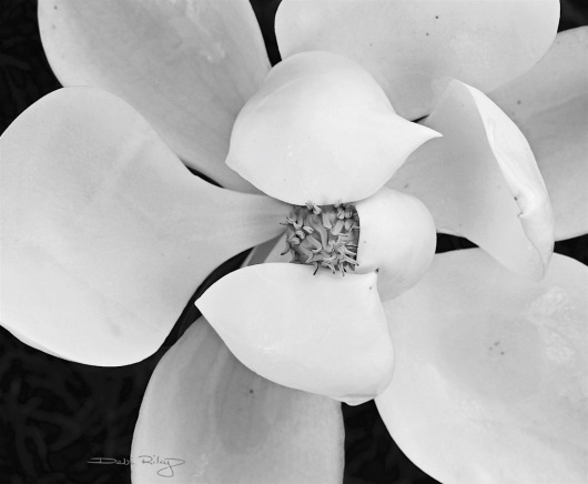 monochrome black and white photograph magnolia, debiriley.com