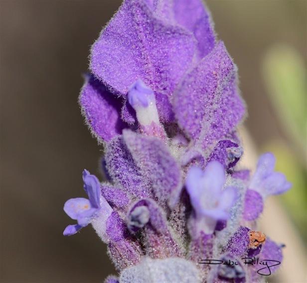 lovely lavender photo, debiriley.com