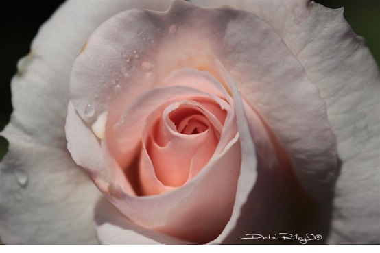 shell pink rose photo, debiriley.com