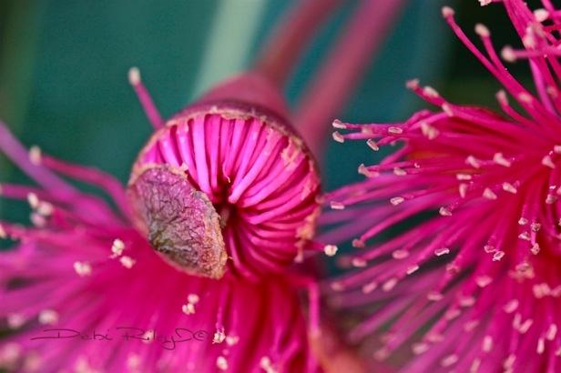 side glance, gum tree blossom red, photograph, debiriley.com