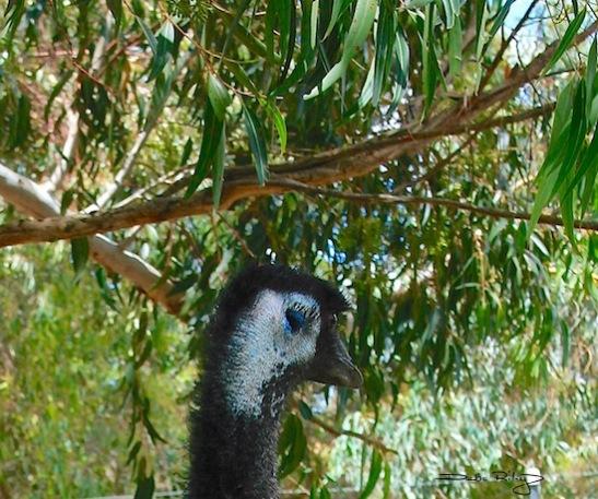 shy looks emu, photograph, debiriley.com