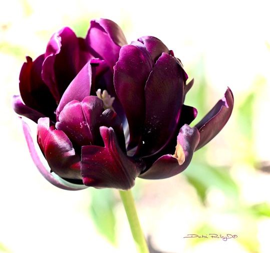 magenta spring tulip, photo, debiriley.com