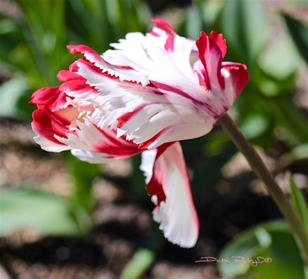 tulip garden at Easter, photo, debiriley.com
