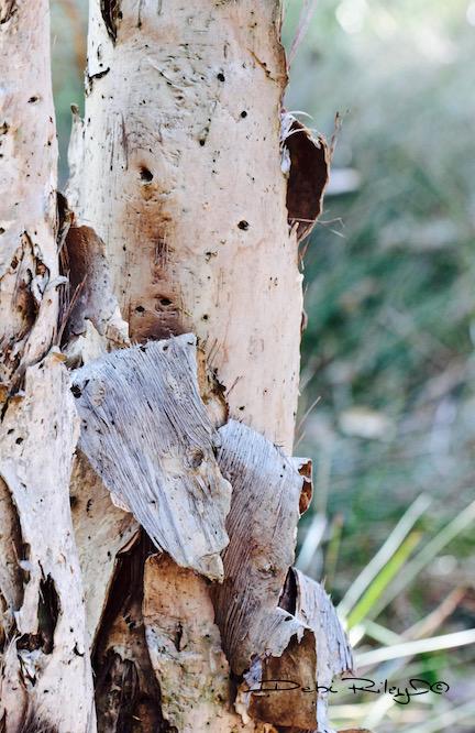 Tantalising Tree Bark