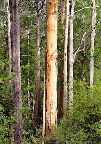 tingle forest, albany, denmark, WA,