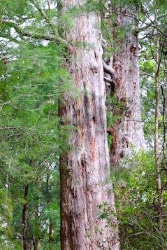 Tingle Forest, Valley of the Giants, debiriley.com