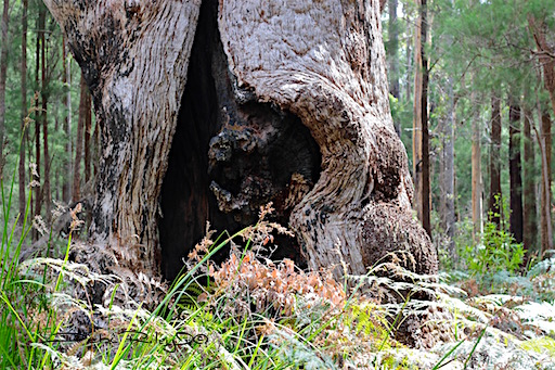 Ancient Tree, textures, photo, debiriley.com Perth, Western Australia