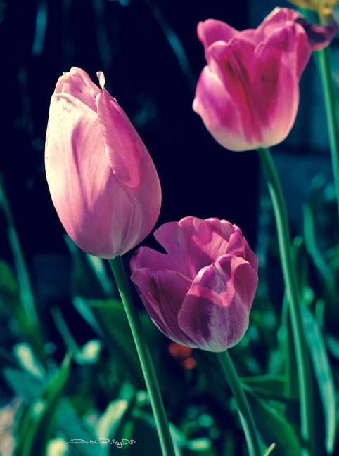 spring tulips remembered, pink tulip photo, debiriley.com
