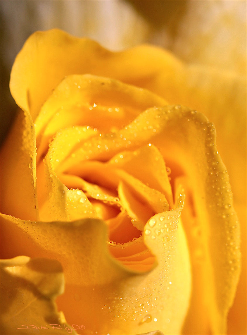 medley of yellow rose, photo, debiriley.com