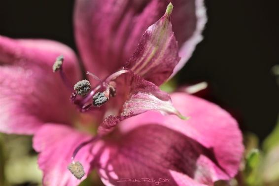 pink Floral macro photograph, debiriley.com