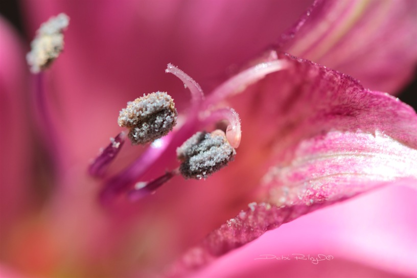 pink lily flower, macro photography, debiriley.com
