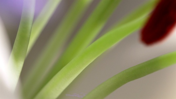 macro lily stamens, soft focus, debi riley art photography