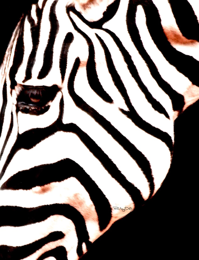 black and white zebra design patterns, Perth Zoo, debiriley.com, debi riley art