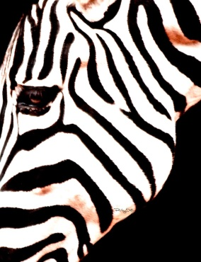 black and white zebra design patterns, Perth Zoo, debiriley.com, debi riley art