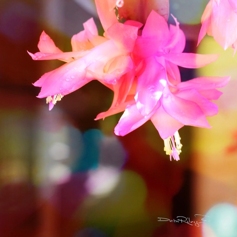 hot pink cactus bloom photograph, debi riley art photo