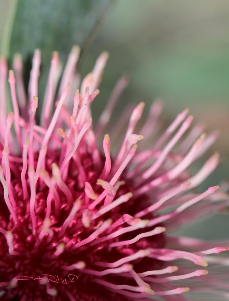 wild flowers, dancers of Perth Park, debi riley art photographs,