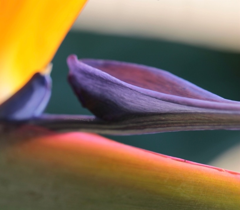 bird of paradise flower, macro photograph, debiriley.com