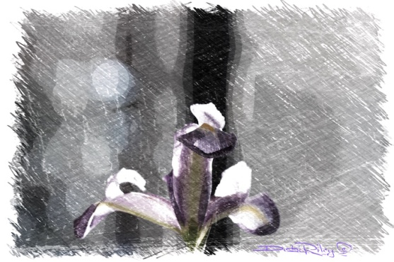 digital painting of iris, debi riley art, debiriley.com
