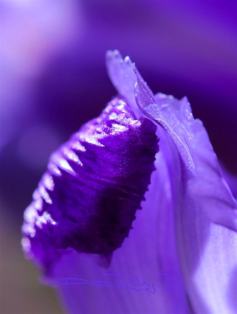 macro purple iris photograph, meaning of the iris, debi riley art,