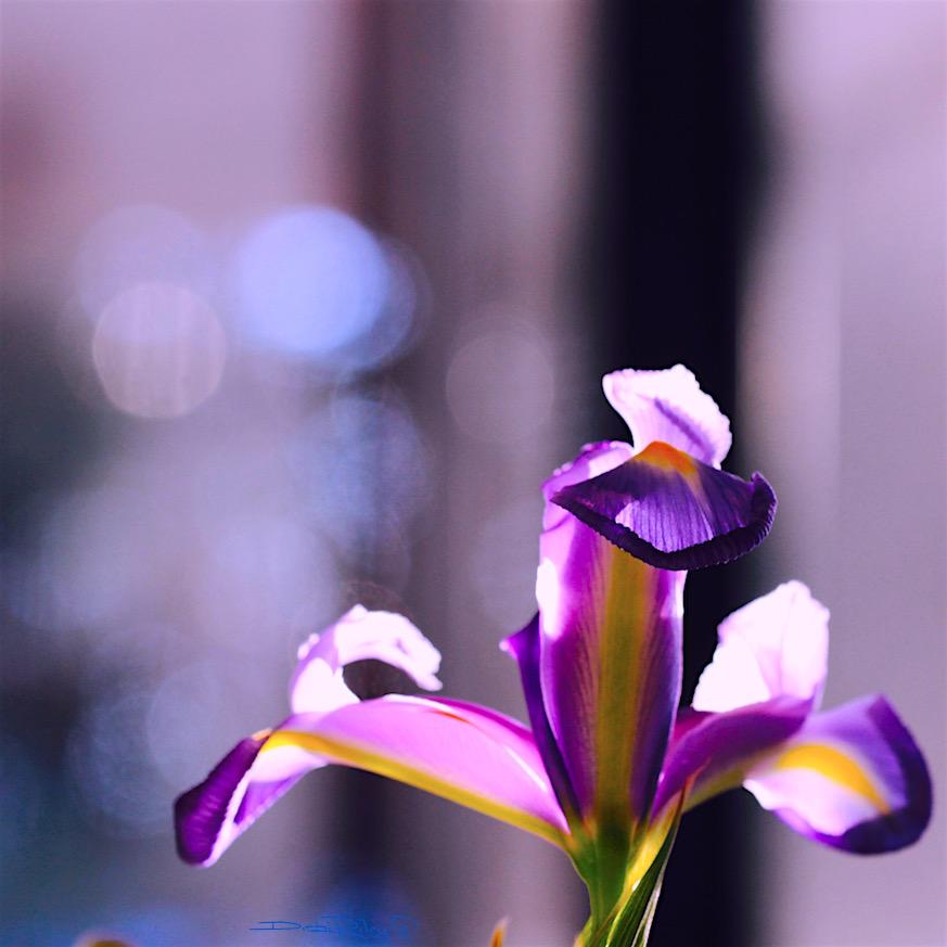 iris flower macro, purples, debiriley.com