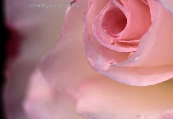 the rose is crying, rose photograph, debiriley.com