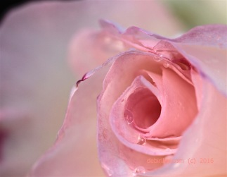 Raindrops on roses, rose photograph, debi riley paintings