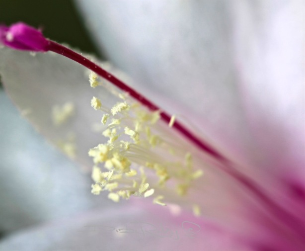flower macro photograph, canon eos, 100mm lens, debi riley art