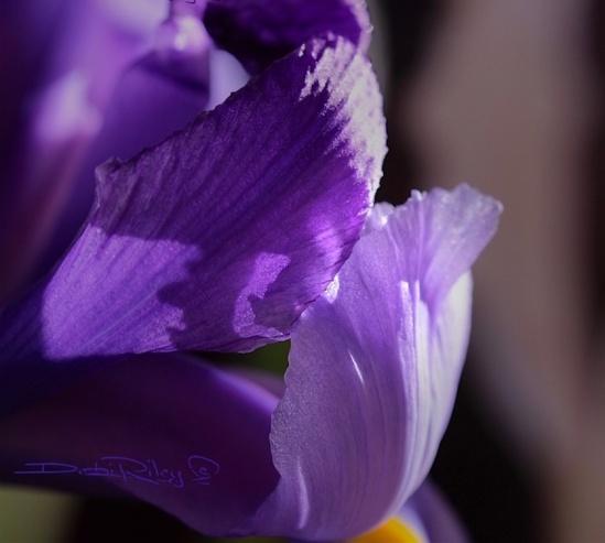 Valor and Love, Iris macro photo, debi riley art