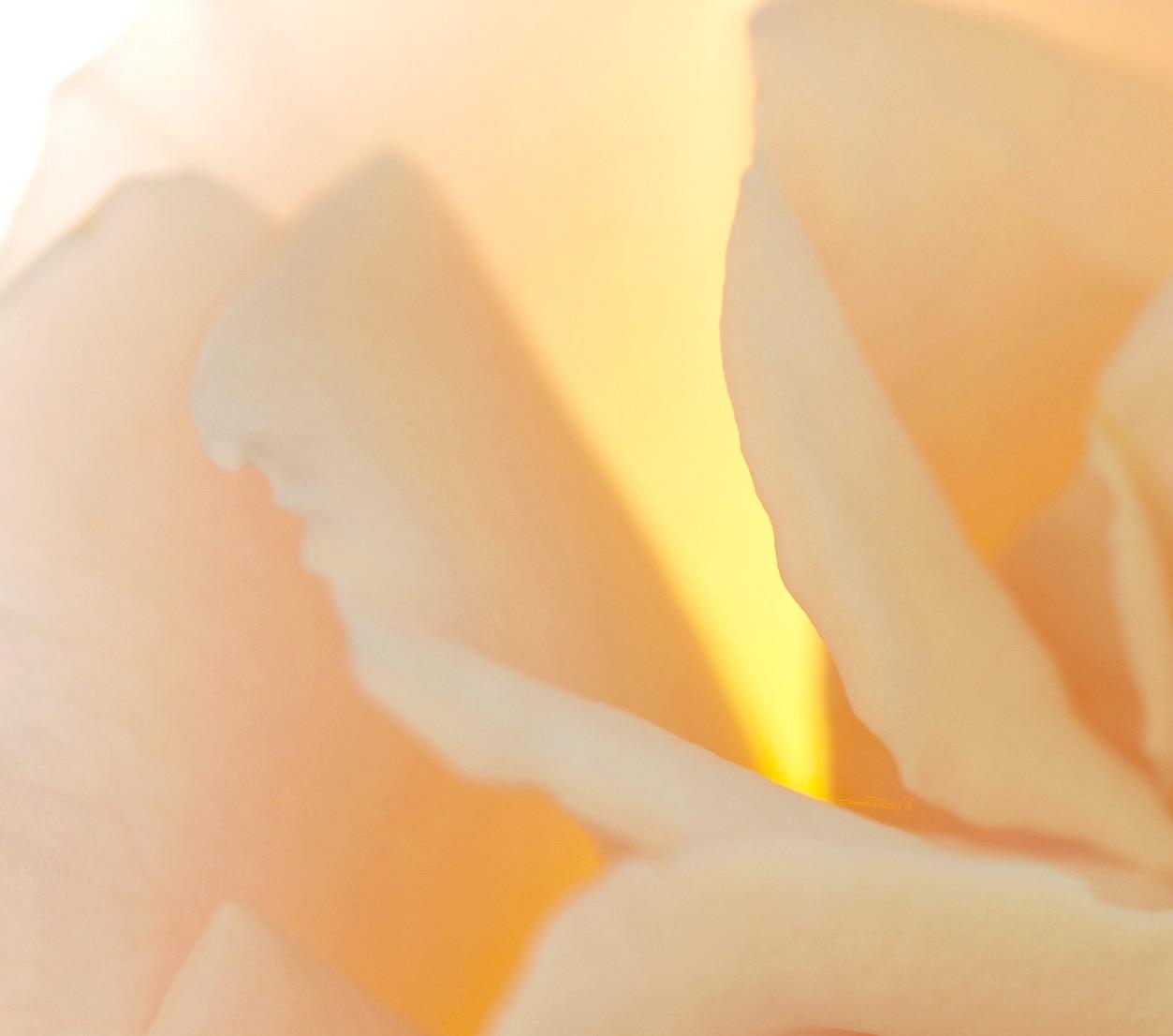 rose photograph, creativity expression in art, debiriley.com