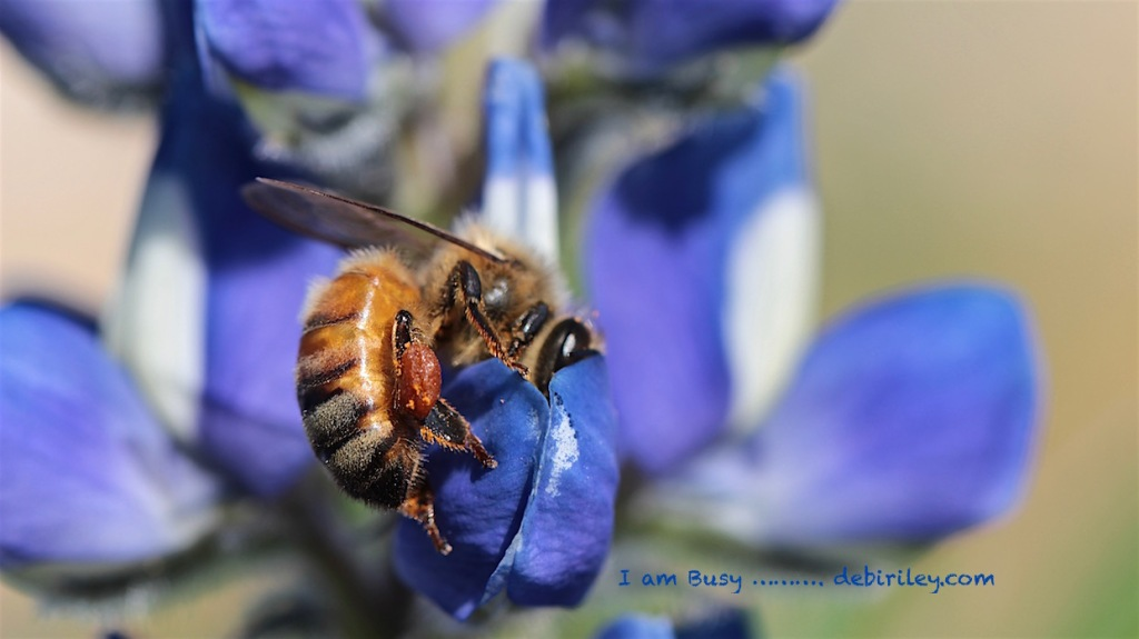busy bee on lavender blue lupine, photo, debiriley.com