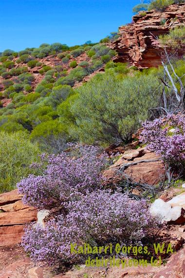 lilac wildflowers Kalbarri Gorges, Western Australia, sightseeing near Perth, Kalbarri Gorges, debiriley.com
