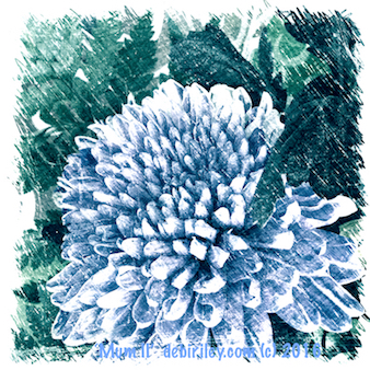 chrysanthemums in blues, antique print look, debiriley.com