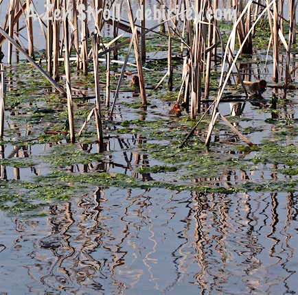 reed reflections, chicks, photo, debiriley.com