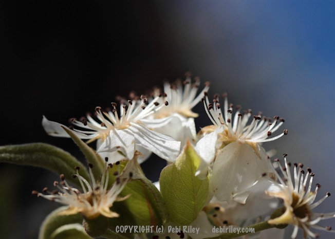 lovely white spring blossoms, macro photo, debiriley.com