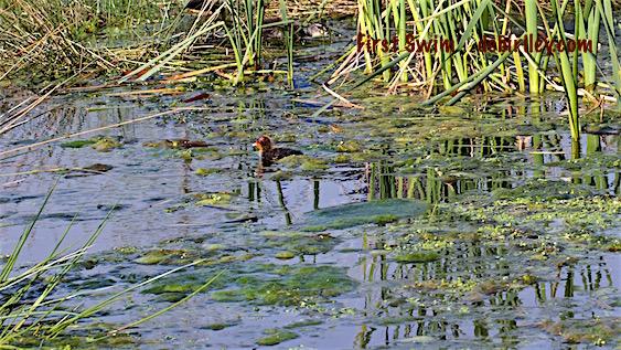 water chick first swim, photo, debiriley.com