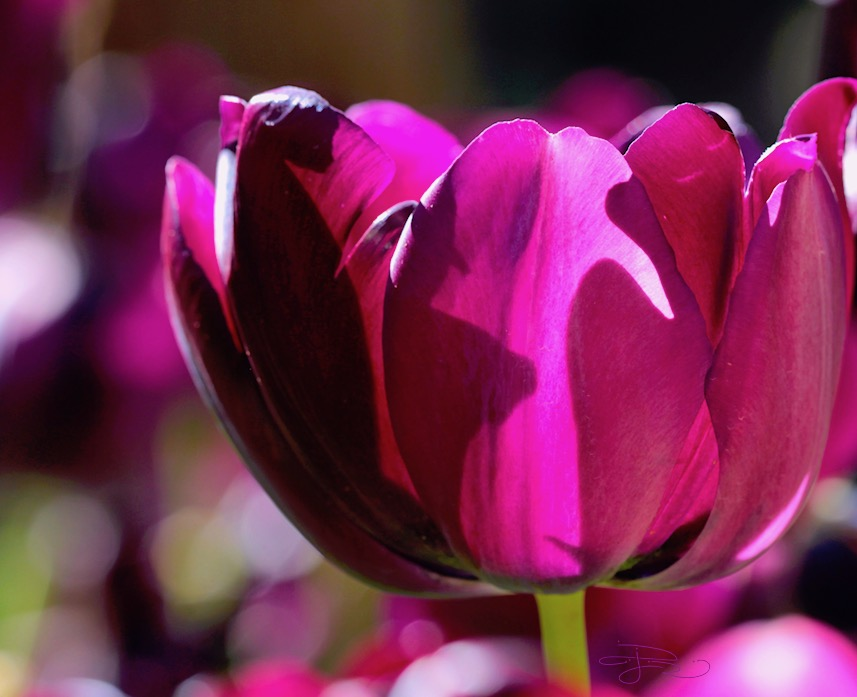 magenta tulip sunlit photograph, beauty in flowers, debiriley.com