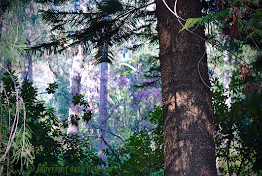 forest clearing, photo lilacs and pine greens, debiriley.com