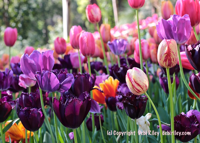 spring gardens dazzling with colorful tulips, debiriley.com