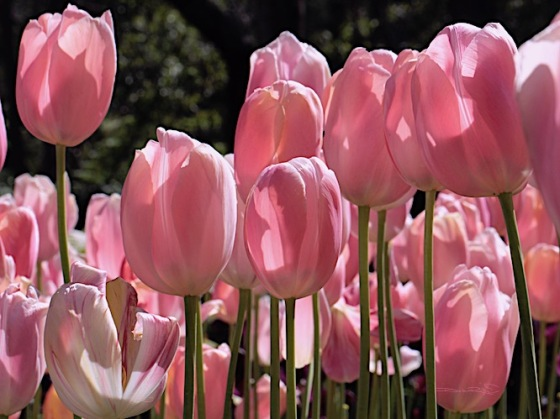 pink tulips, spring flowers, debiriley.com