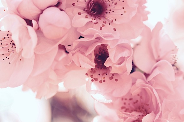 soft pretty pink flowers, delicate spring blossoms, flower photography, artistic inspirations, debiriley.com