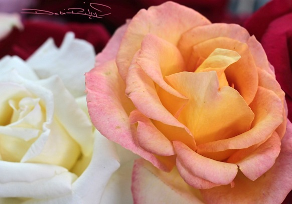 Roses, pink, orange, debiriley.com