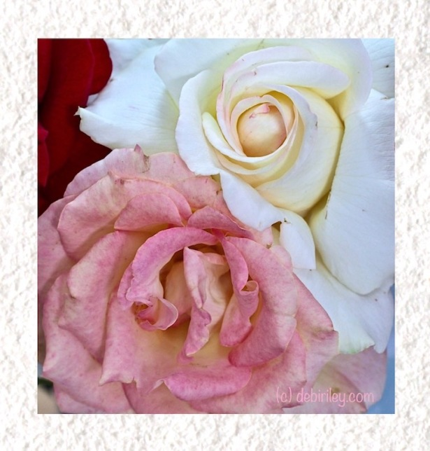 roses in spring, photograph, debiriley.com