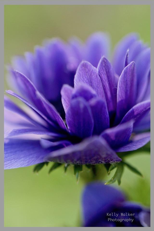 soft lavender purple spring bloom, spring flowers in bloom, flower garden, flower photography, kellywalkerRedbubble.com, debiriley.com