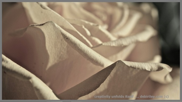 rose petals unfolding, creative photography, macro flower photography, debiriley.com