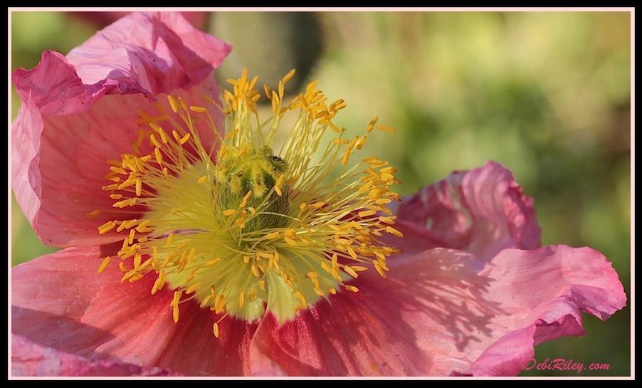 flower macro photography, spring flower gardens, pink poppies, debiriley.com