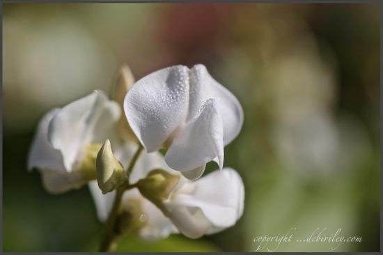 pea blossom photograph, canon 600d, zen stroll, debiriley.com