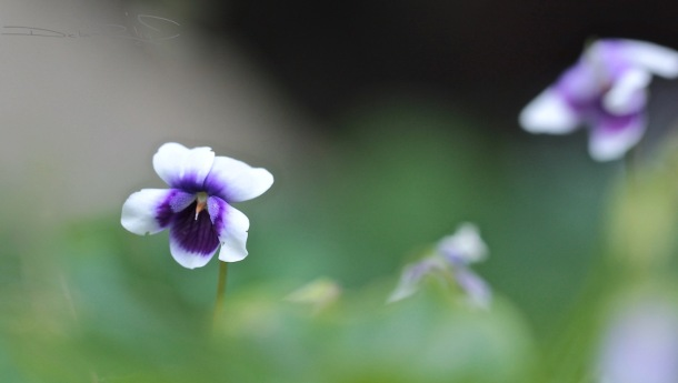 woodland violets, macro flowers, canon 600d, soft edges in art, purple flowers, zen stroll, nature walks, debiriley.com